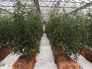 Tomatoes Black magigno hybrid growth by hydrop...