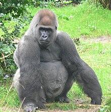 Västlig gorilla