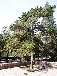 Pinus tabuliformis  Wikipedia