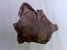 Porphyra umbilicalis.jpg