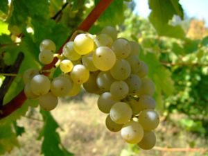 English: Sauvignon blanc wine grape. Location:...