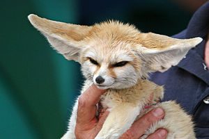 This is Savannah the Fennec Fox! She's only 10...