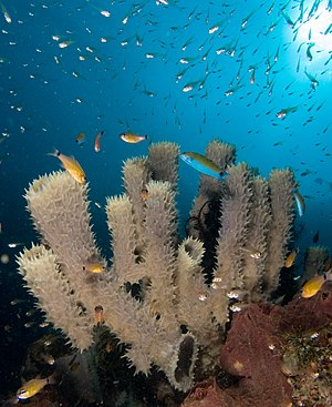 English: Callyspongia sp. (Tube sponge) attrac...