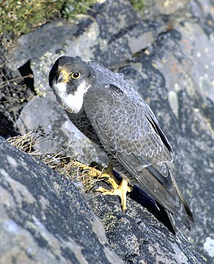 The Peregrine Falcon is a major predator of ra...