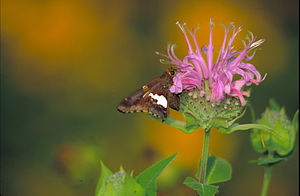 Silver spotted skipper (Epargyreus clarus) on ...