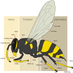 Hornet Anatomy Diagram Wiring Of Motorcycle Alarm System File Wasp Morphology Png Wikipedia