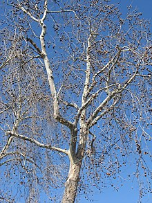 Platanus racemosa  Wikipedia