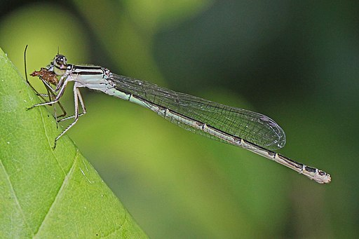 Big Bluet - Enallagma durum, Leesylvania State Park, Va. - 5976294016