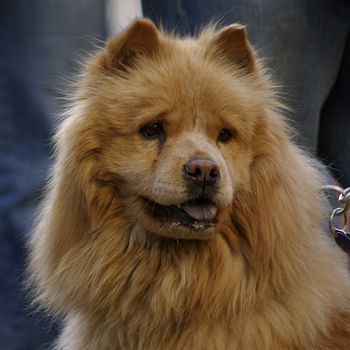 A red Chow Chow.