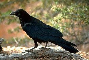 A black raven