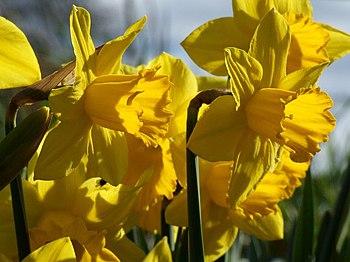 English: Daffodils at Hareby Daffodils head-to...