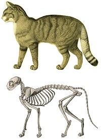 cat muscle anatomy diagram blank human skull wikipedia skeleton of a domestic