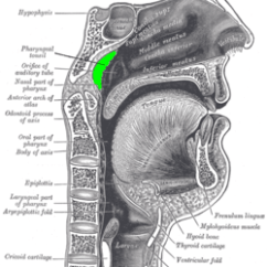 Pig Lungs Diagram Ceiling Pull Switch Wiring Adenoid – Wikipedia