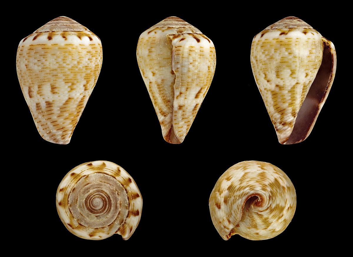 Conus ventricosus mediterraneus  Wikipedia