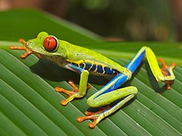 Red eyed tree frog edit2