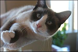 Riley, the Snowshoe kitten