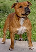 English Bulldogs For Sale In Iowa : english, bulldogs, Staffordshire, Terrier, Wikipedia