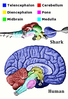 labelled diagram of human brain pioneer deh p8600mp wiring wikipedia corresponding regions and shark are shown the is splayed out
