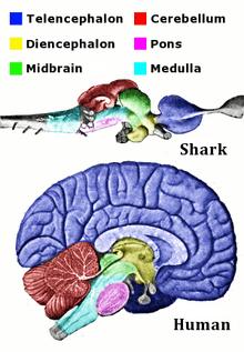 Brain  Wikipedia