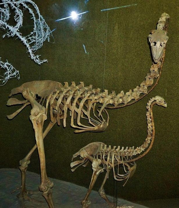 Canterbury Museum, Christchurch Moa