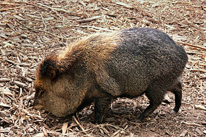 A Collared Peccary of the family Tayassuidae