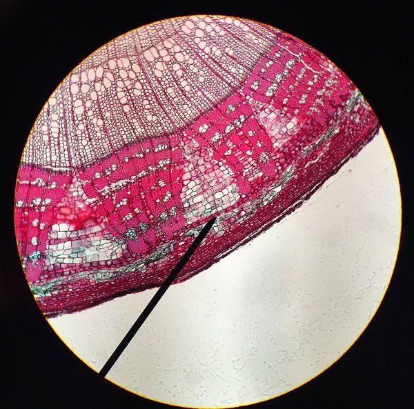 Cork Cambium Cells