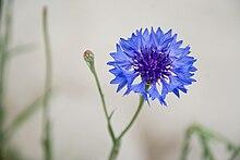 Cornflower Blue.jpg