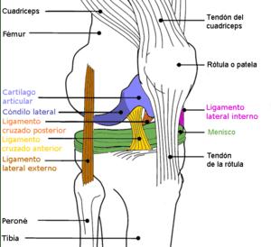 diagrama anatomía rodilla en color, knee anato...