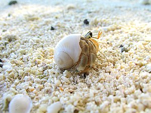 Hermit Crab. Polinesia.