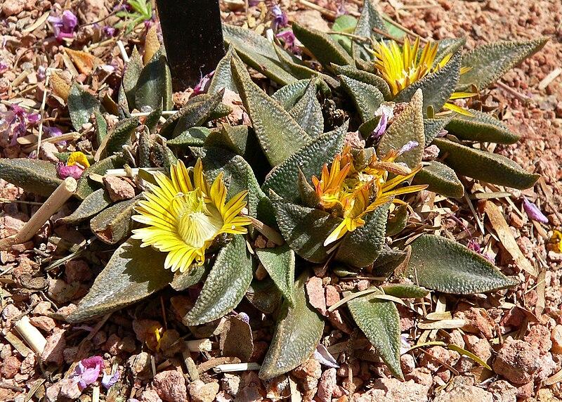 Arquivo: Nananthus transvaalensis 1.jpg