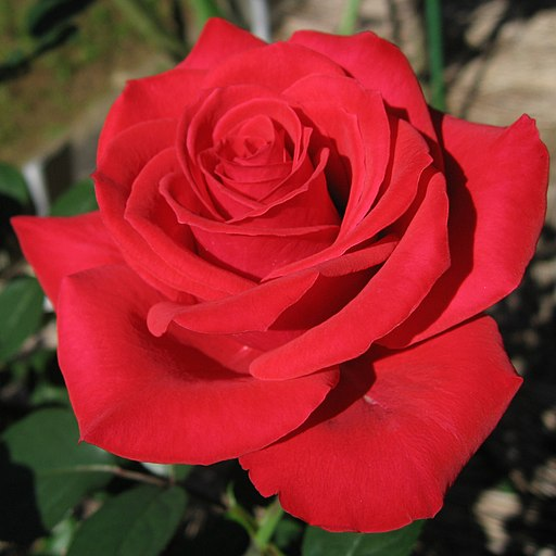 Rosa Red Chateau01