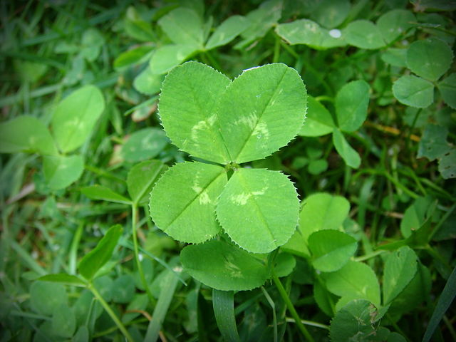 https://i0.wp.com/upload.wikimedia.org/wikipedia/commons/thumb/c/c0/4-leaf_clover.JPG/640px-4-leaf_clover.JPG