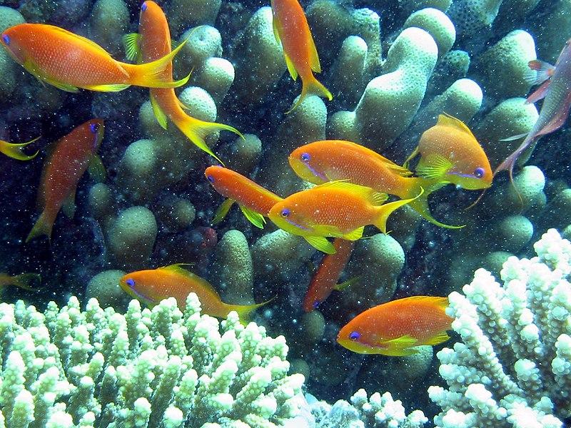 File:Anthia goldfish.JPG