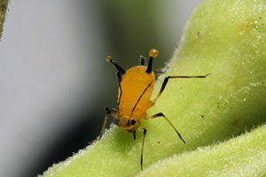 Aphid feeding on sap