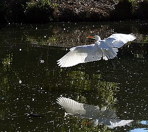 Great Egret and his reflection