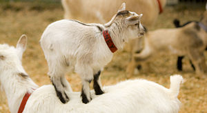 A goat kid at a petting zoo climbs on its mother.