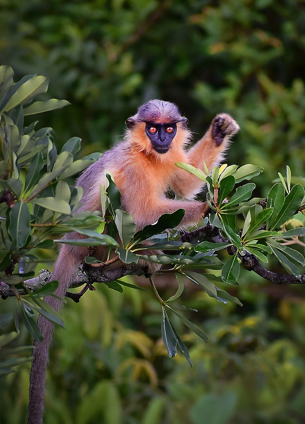 Capped langur  Wikipedia