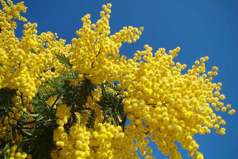 File:Mimosa - Le Muy.jpg