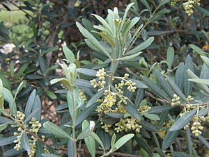 English: Olive Blossoms outside Jerusalem.