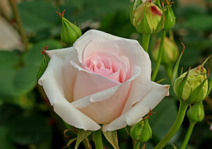 ;Name :Rose Hybrid Tea 'Ophelia' ;Family :Rosa...
