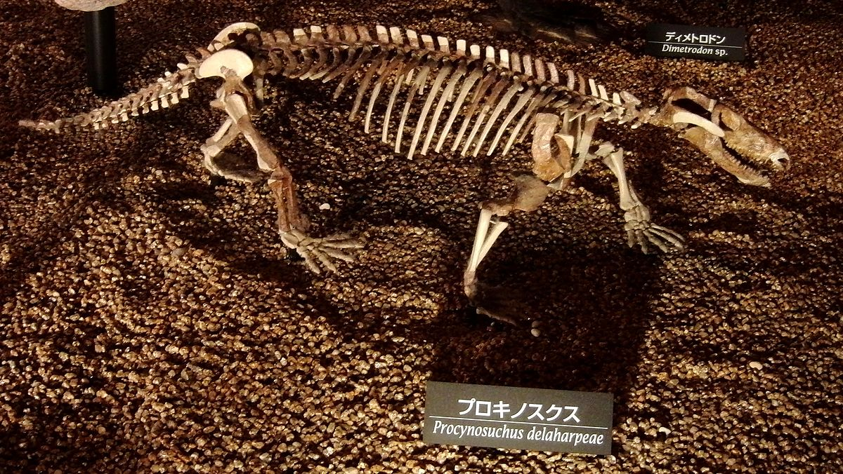 Procynosuchus Wikipedia