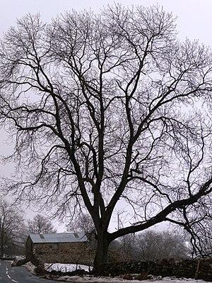 English: Winter tree on the B6270