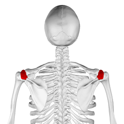Acromion of scapula06.png