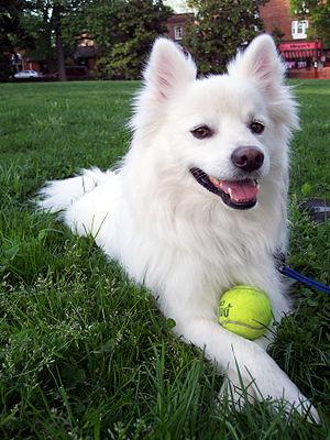 American-Eskimo-dog