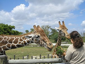 English: Feeding the Giraffes at Miami Metro Zoo