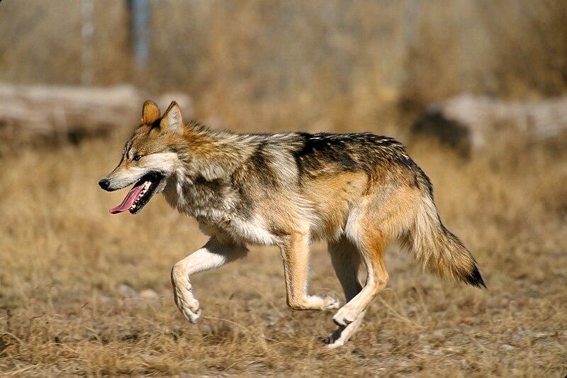 File:Mexican Wolf 2 yfb-edit 1.jpg