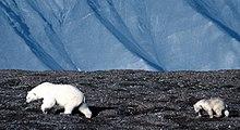 Uma fêmea e um filhote em Svalbard, território da Noruega.