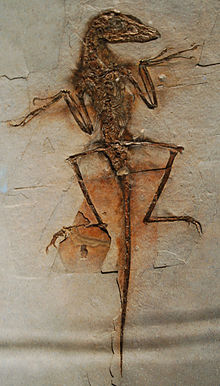 Fosil NGMC 91, Sinornithosaurus türünden olması olasılıklı