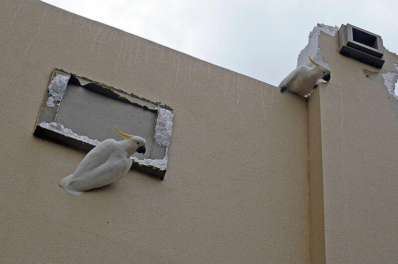Archivo: Cockatoos Azufre-con cresta dañar un centro comercial fachada 1.jpg