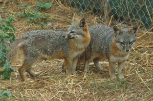 The island fox is a critically endangered species.
